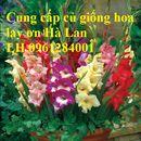 CỦ GIỐNG HOA LAY ƠN, HOA DƠN, HOA LAY ƠN HÀ LAN - LH 0961284001
