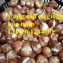 Cung cấp củ giống hoa tulip Hà Lan, củ hoa tuy lip, số lượng lớn, cam kết chất lượng, uy tín