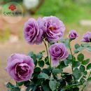 Hoa hồng tím đẹp nhất, uy tín nhất