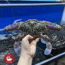 Ghẹ biển sống vào hàng ngày, nên đảm bảo chất lượng tươi sống