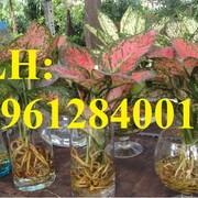 Cây phong thủy, cây phú quý. cung cấp số lượng lớn cây phú quý phong thủy chơi tết